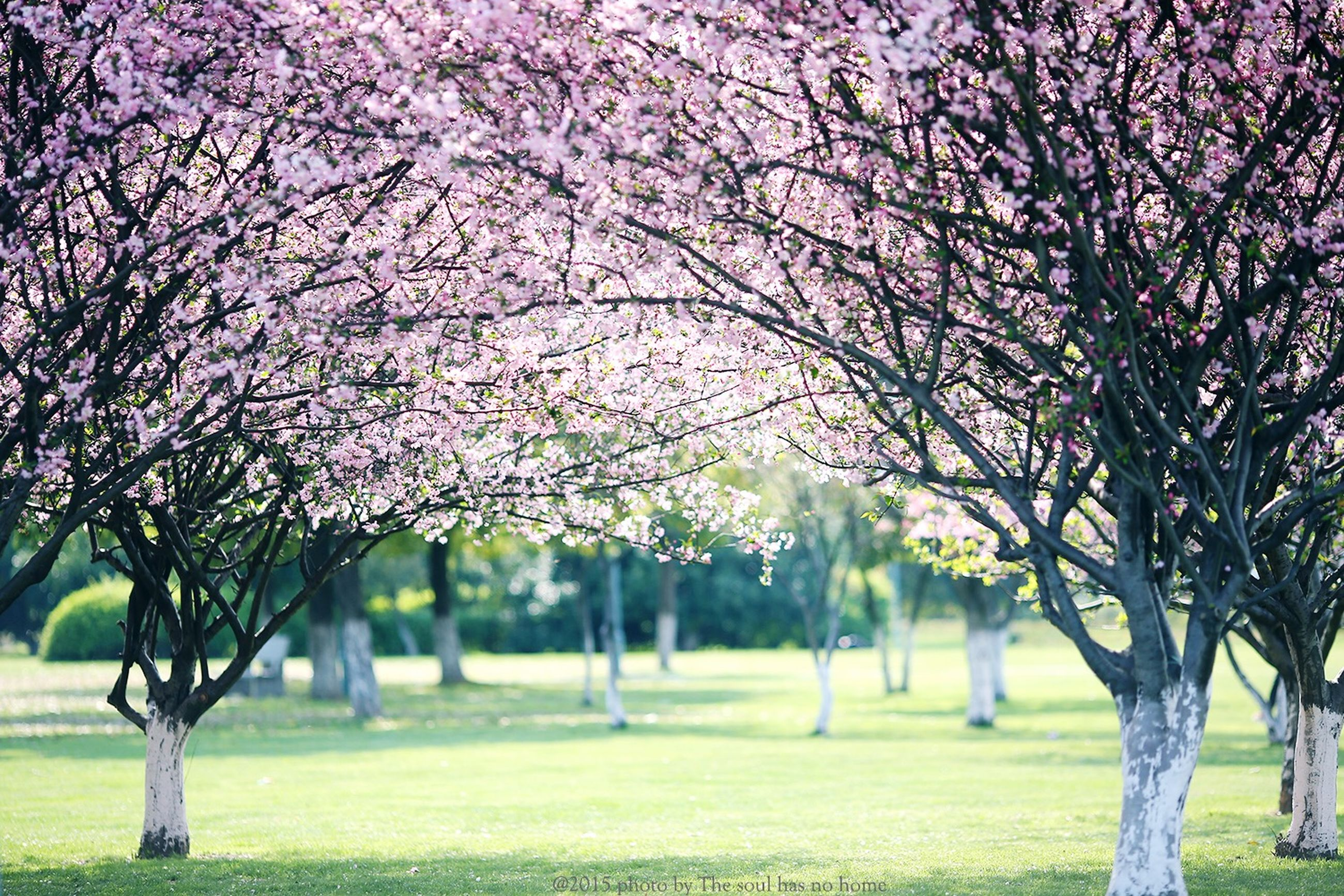 tree, grass, tree trunk, park - man made space, growth, beauty in nature, tranquility, nature, tranquil scene, branch, park, scenics, field, flower, green color, lawn, landscape, day, outdoors, sunlight