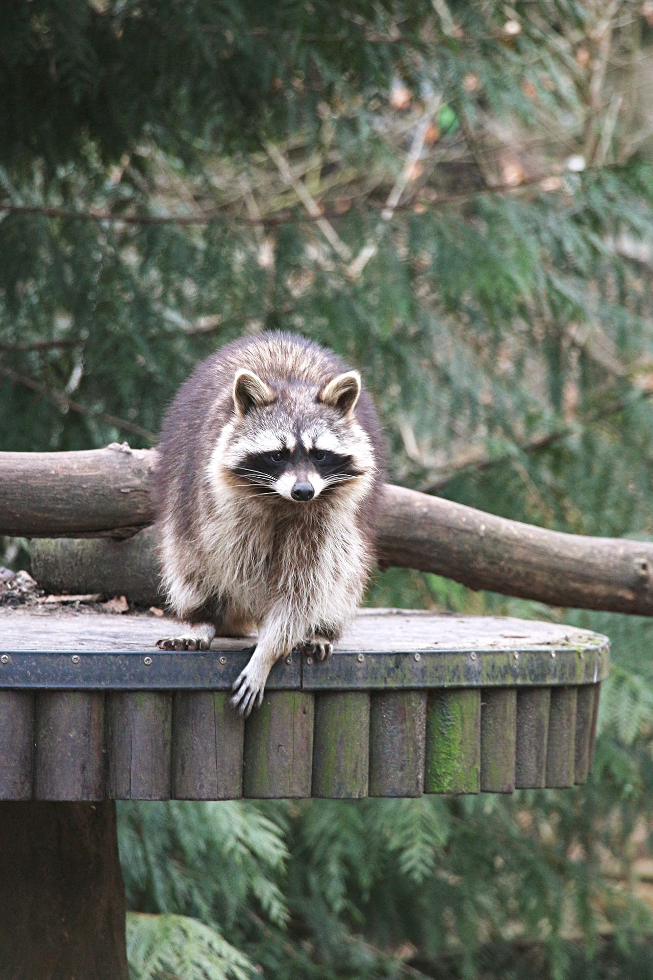 Beautiful stock photos of raccoon, Animal Themes, Animals In The Wild, Berlin, Brown