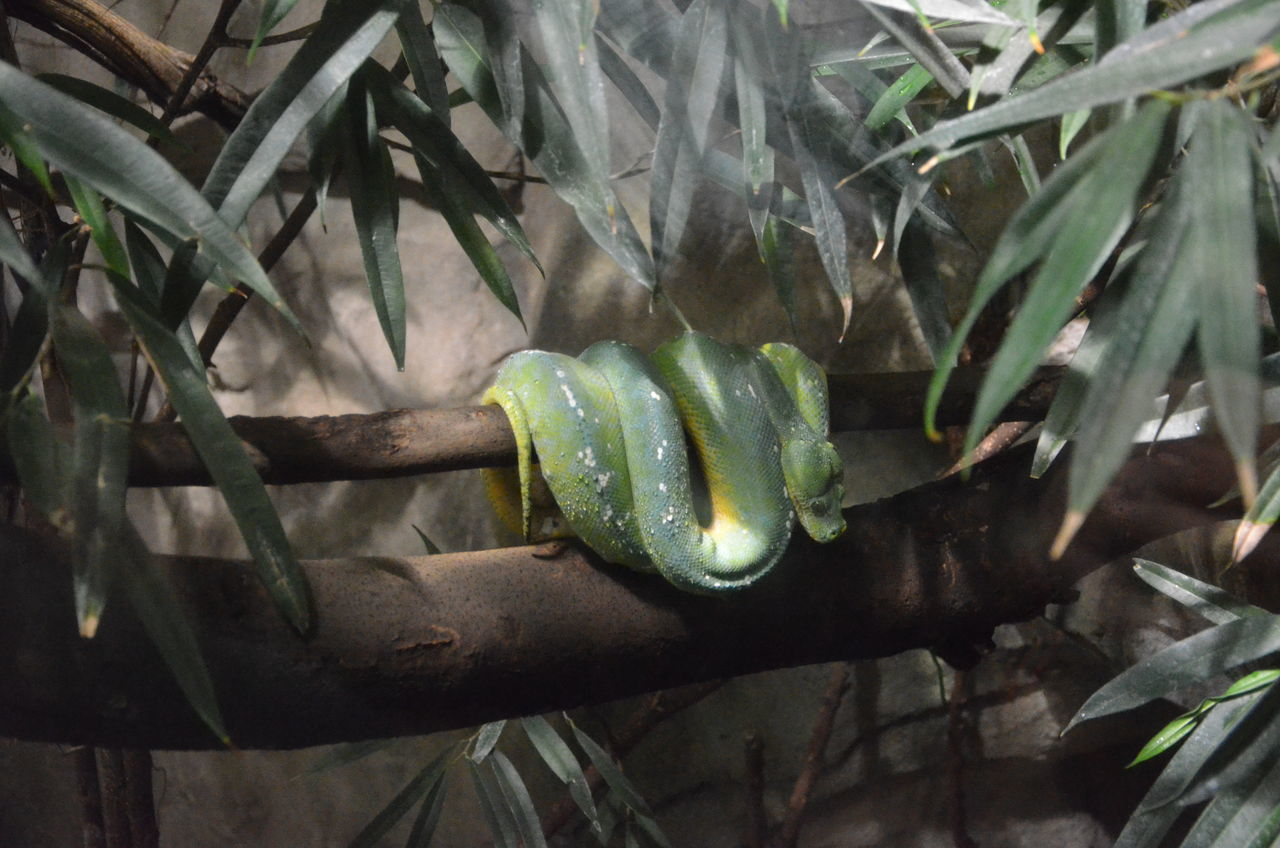 Acquario Di Genova Italy Animal Themes Beauty In Nature Green Color Green Snake Nature No People Snake Tree