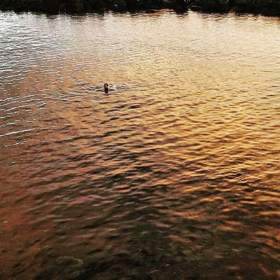 Gold Swim Swimming Nature Outdoors Water Lake Beauty In Nature Gold Water Sunset