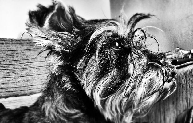 Schnauzer at salesianos cruces by bighawk