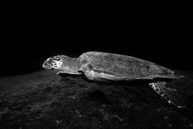 Wideangle Scuba Diving Diving Sea Turtle Night Photography Nightphotography Night Underwaterphotography Sea_collection Eye4photography  EyeEm Best Shots Eye Em Nature Lover Nature_collection Nature Photography Nature Underwater Diving Reptile World Reptilecollection Sea Turtle Seaturtle Photography In Motion Black And White Black & White Monochrome Black