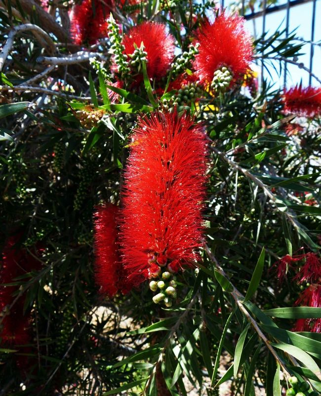 Red Flower Bottlebrush Flower Bristles Flowering Tree Weeping Tree Bristly Nature No People Outdoors Outdoor Photography Gran Canaria Beauty In Nature Trees EyeEm Nature Lover Eyeem Flower Lover
