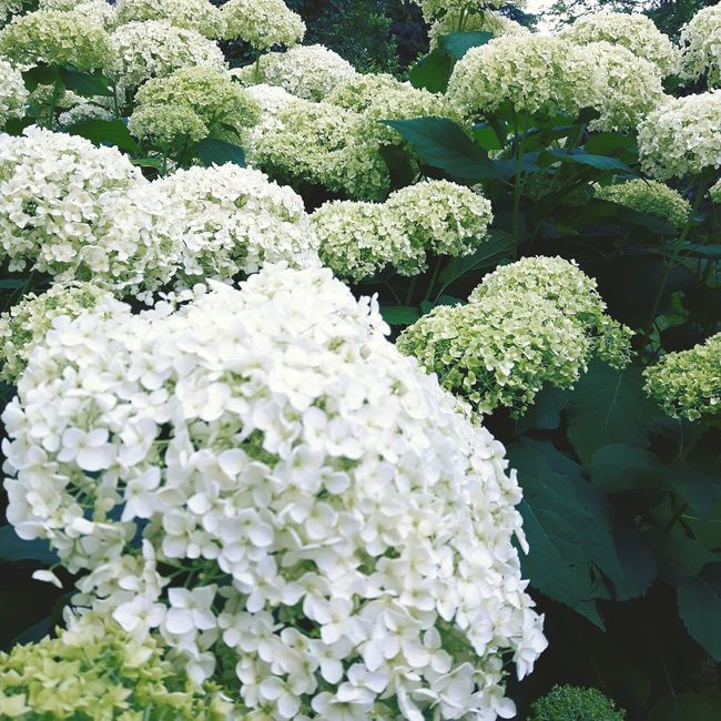 Flowers,Plants & Garden Hydrangeas
