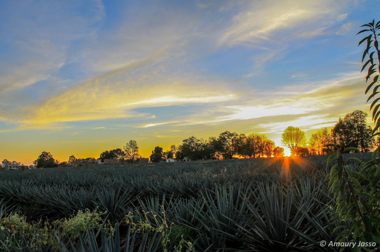 Agave Agave Plant Arandas Cloud - Sky Holiday Landscape Natural Light Nature Outdoors Plant Sky Sunset Tranquil Scene Tranquility Travel Destinations Traveling Trip Photo