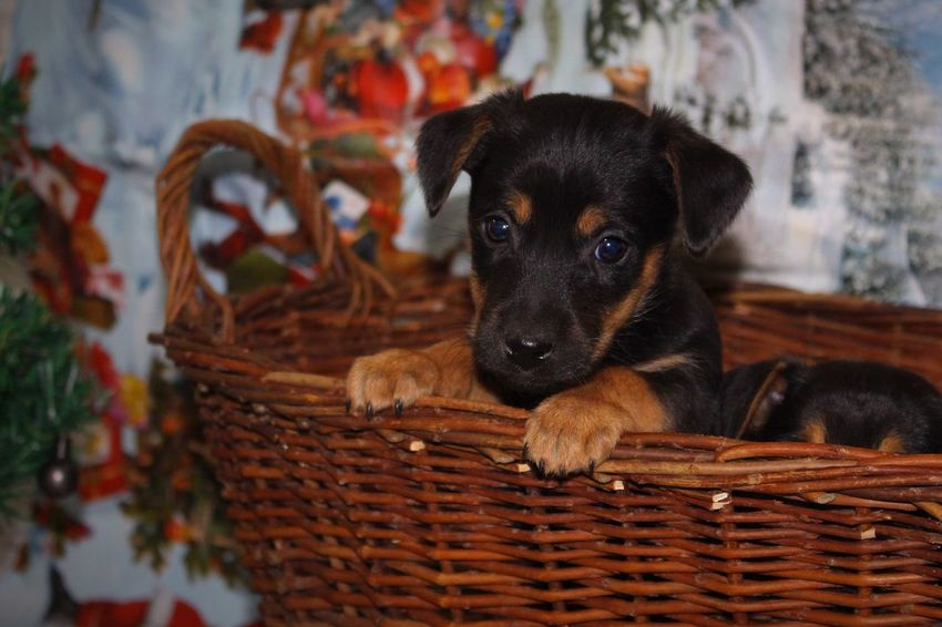 Christmas Pets Basket Domestic Animals Dog Animal Themes One Animal Indoors  No People Mammal Looking At Camera Close-up Portrait Day Jackrussell Young Dog Pupp Puppy Cuteness Christmastime Christmasdog Christmas Pets Black BlackDog Kerstmis