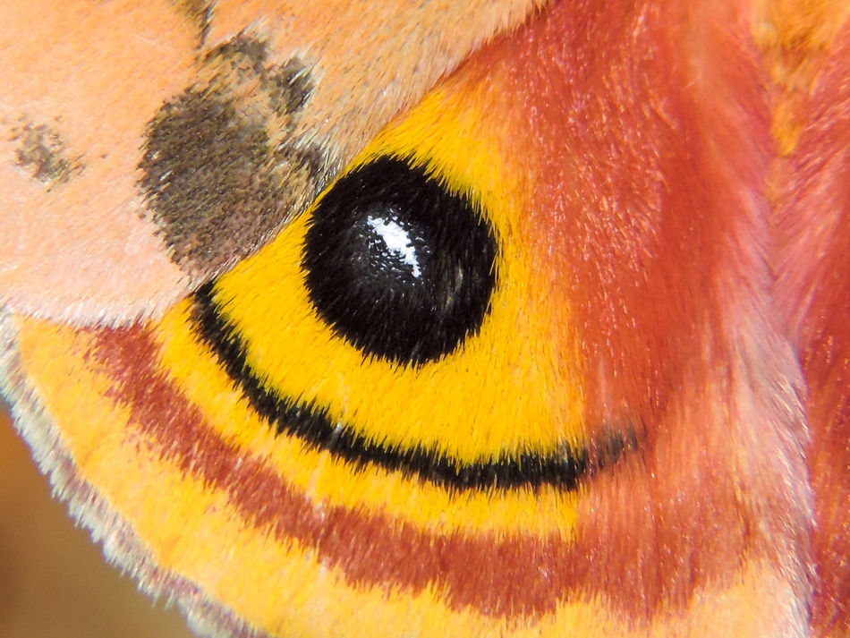 Art In Nature Backgrounds Black Color Close-up Detail Extreme Close-up Io Macro Magazhu Moth Moth Wing Natural Patterns Nature No People Orange Color Red Showcase August Wings Yelapa Yellow Colour Of Life
