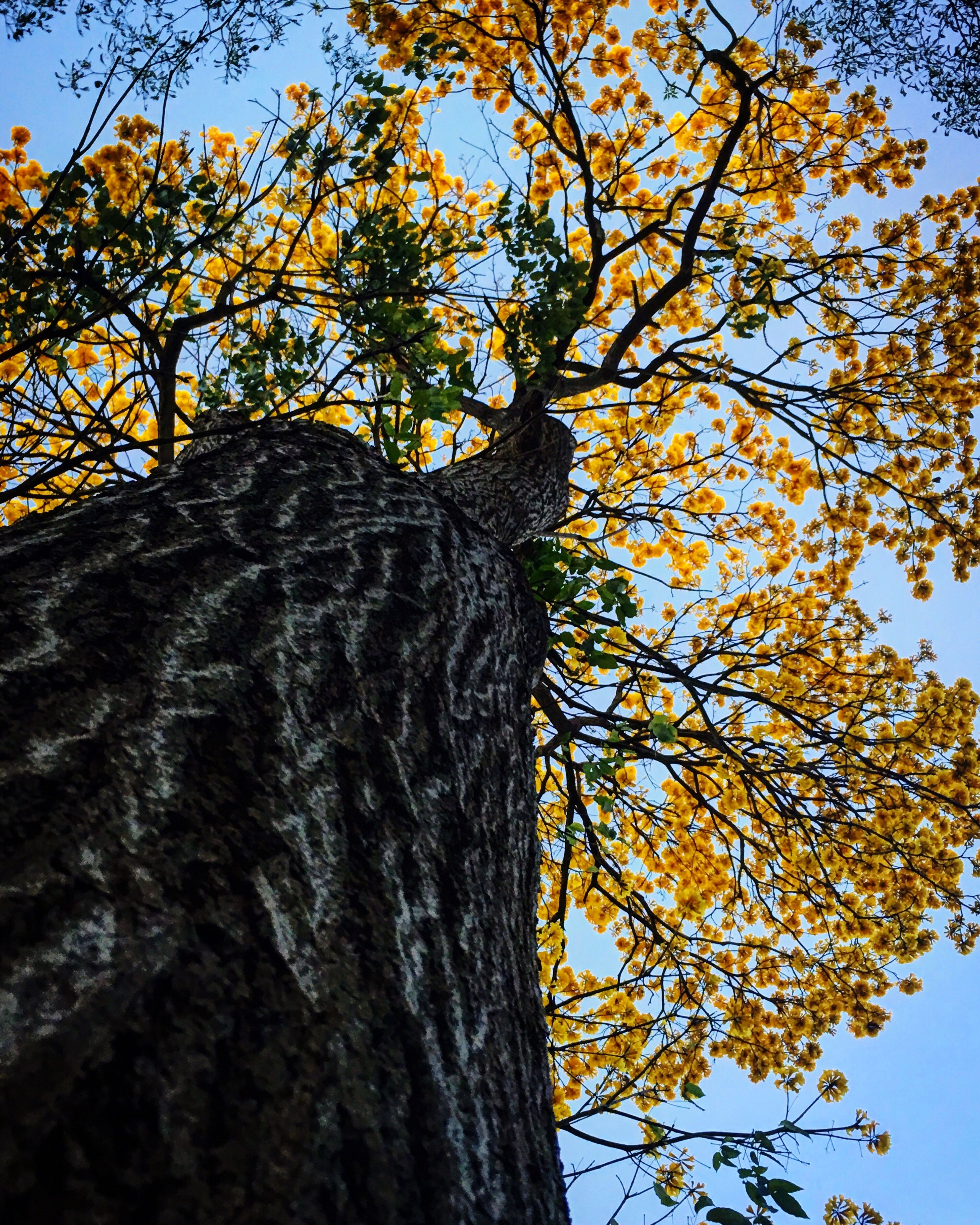 Tree Low Angle View Tree Trunk Nature Branch Growth Beauty In Nature No People Bark Sky Day Outdoors Textured  Close-up Woodpecker Leopard Guayacan Guayaca Tree Guayacan Panama Guayacan Flowers Guayacan Lover Panama Tree Guayacanes