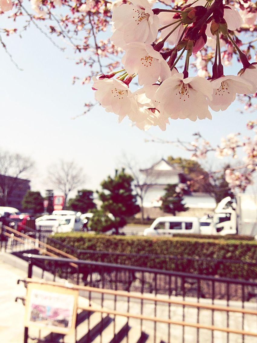 二条城横ソメイヨシノ咲きました