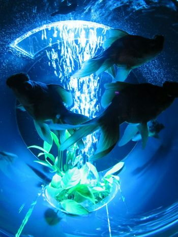 アートアクアリウム 。はっきり言って撮るのムズい。Art Aquarium2015