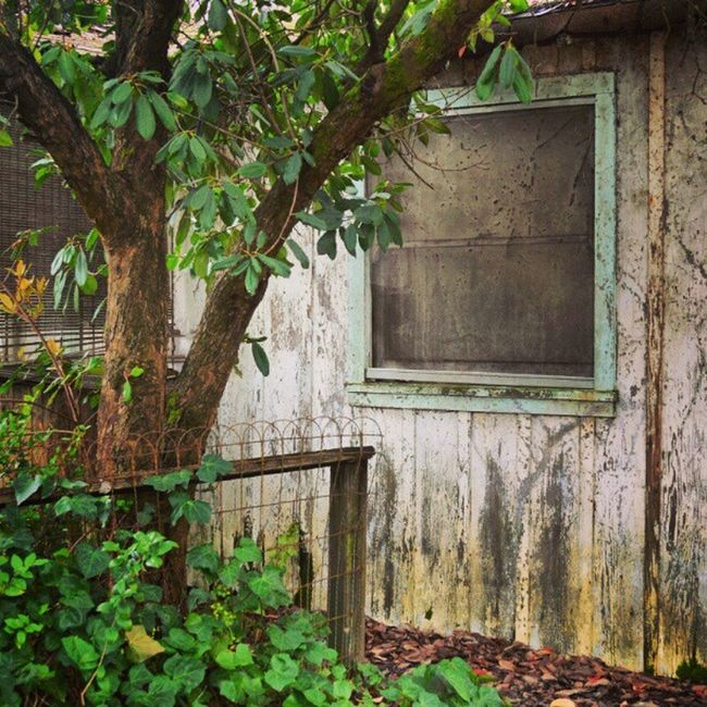 #Graton, CALIF #window #tree #abandoned #house #ruin #decay #mildew Abandoned Tree Window House Decay Ruin Mildew Graton