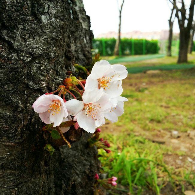 Close-up view of Cherry Blossoms Seoul Korea Latespring Jeju Cherry Blossoms Vscocam