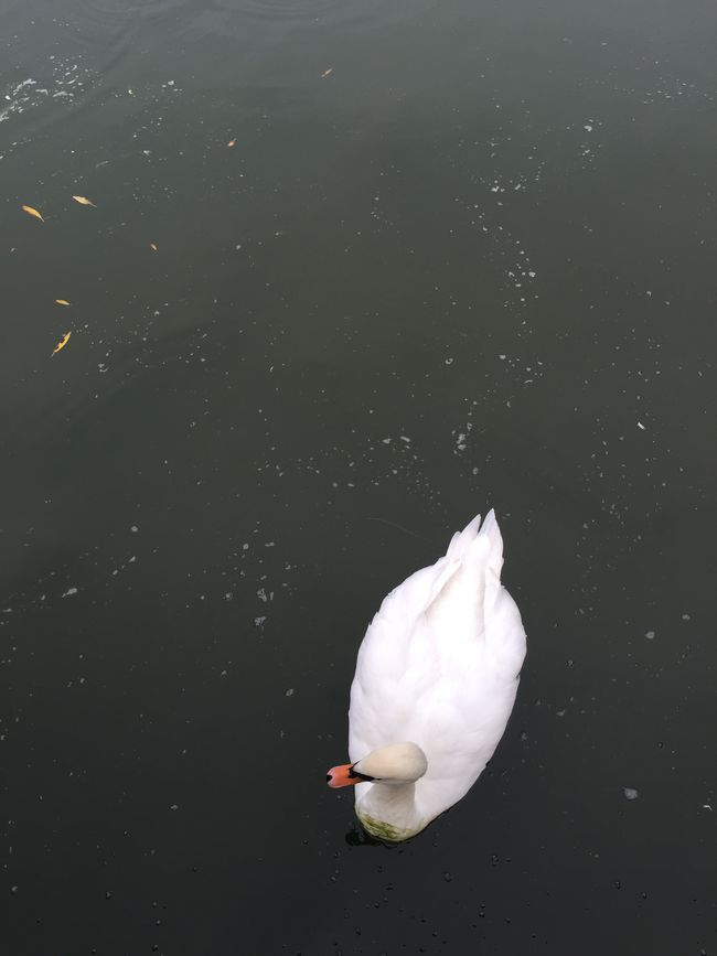 A Swan from An Unusual Angle Unusual Angle strictly For Fun