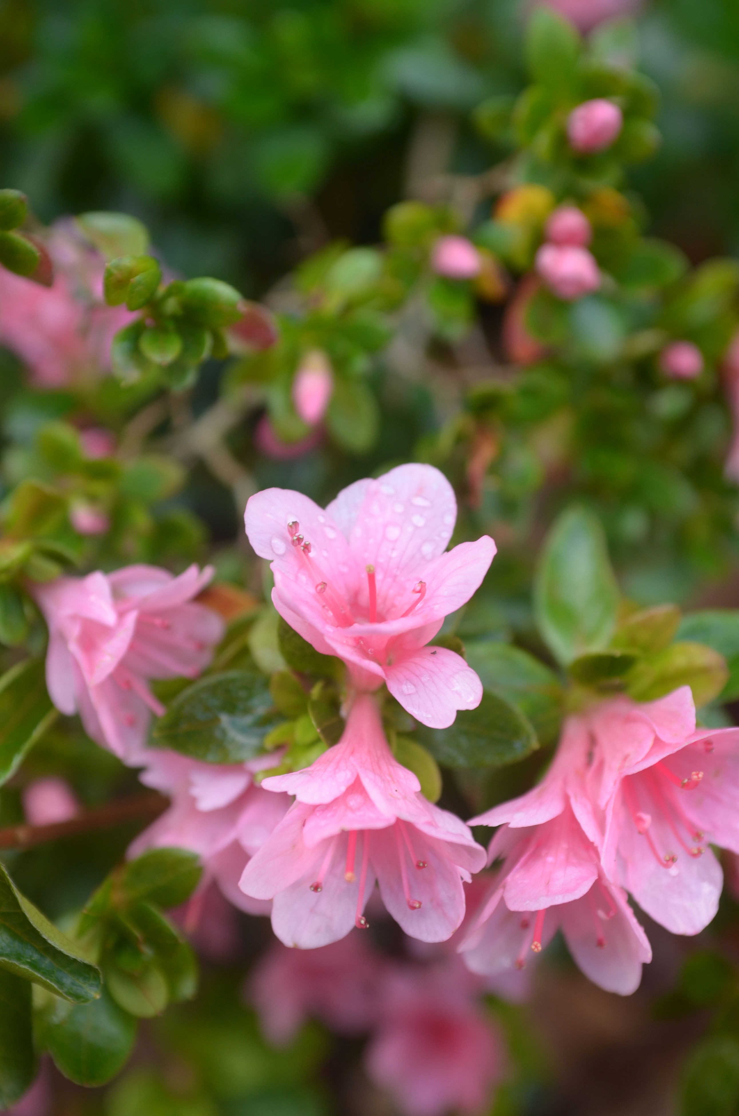 flower, nature, petal, freshness, fragility, growth, pink color, beauty in nature, close-up, flower head, plant, rhododendron, outdoors, stamen, no people, wet, day, pistil