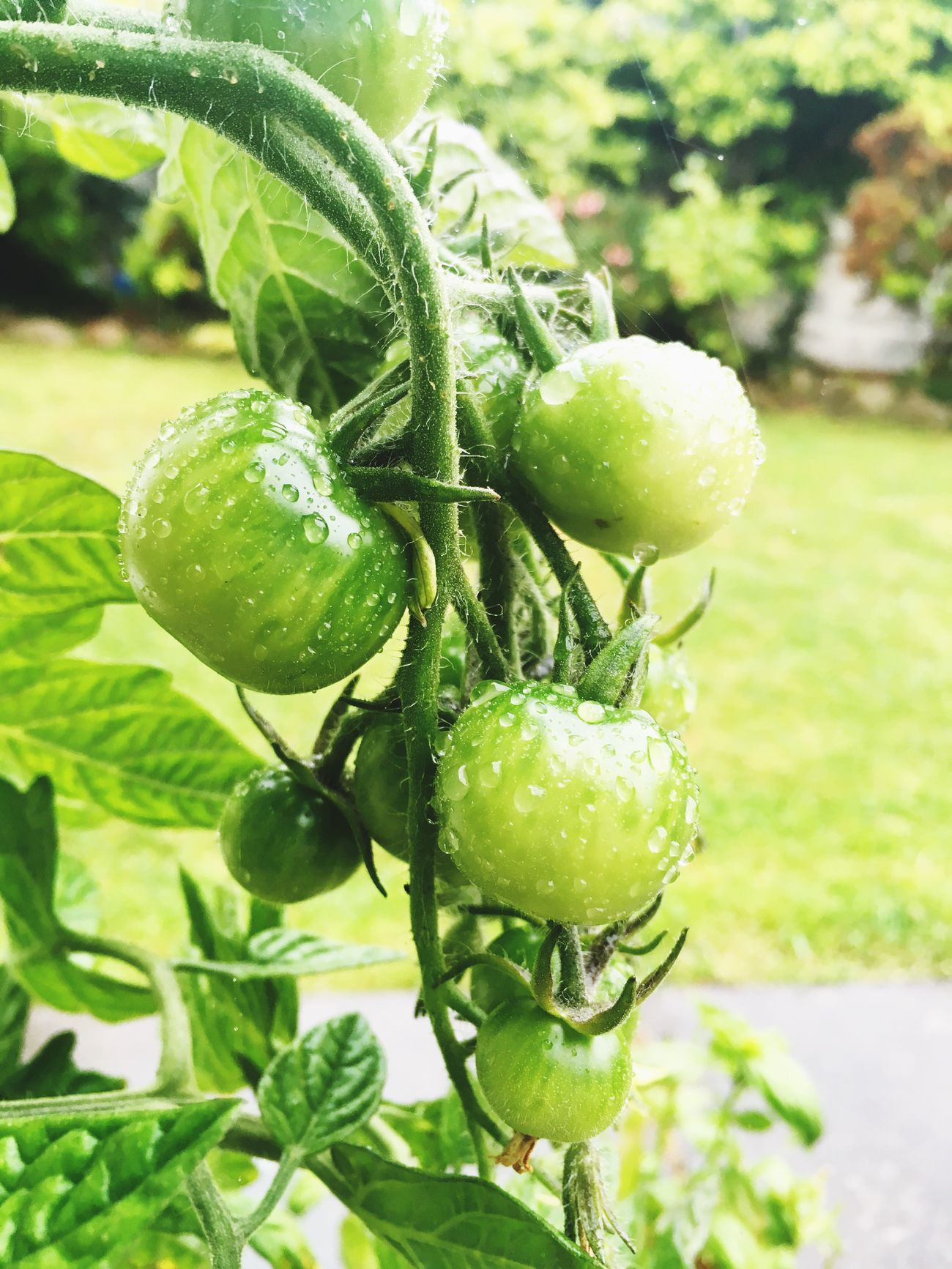 Rain Tomatoes Green Tomatoes Green Color Freshness Focus On Foreground Unripe Beauty In Nature Drop