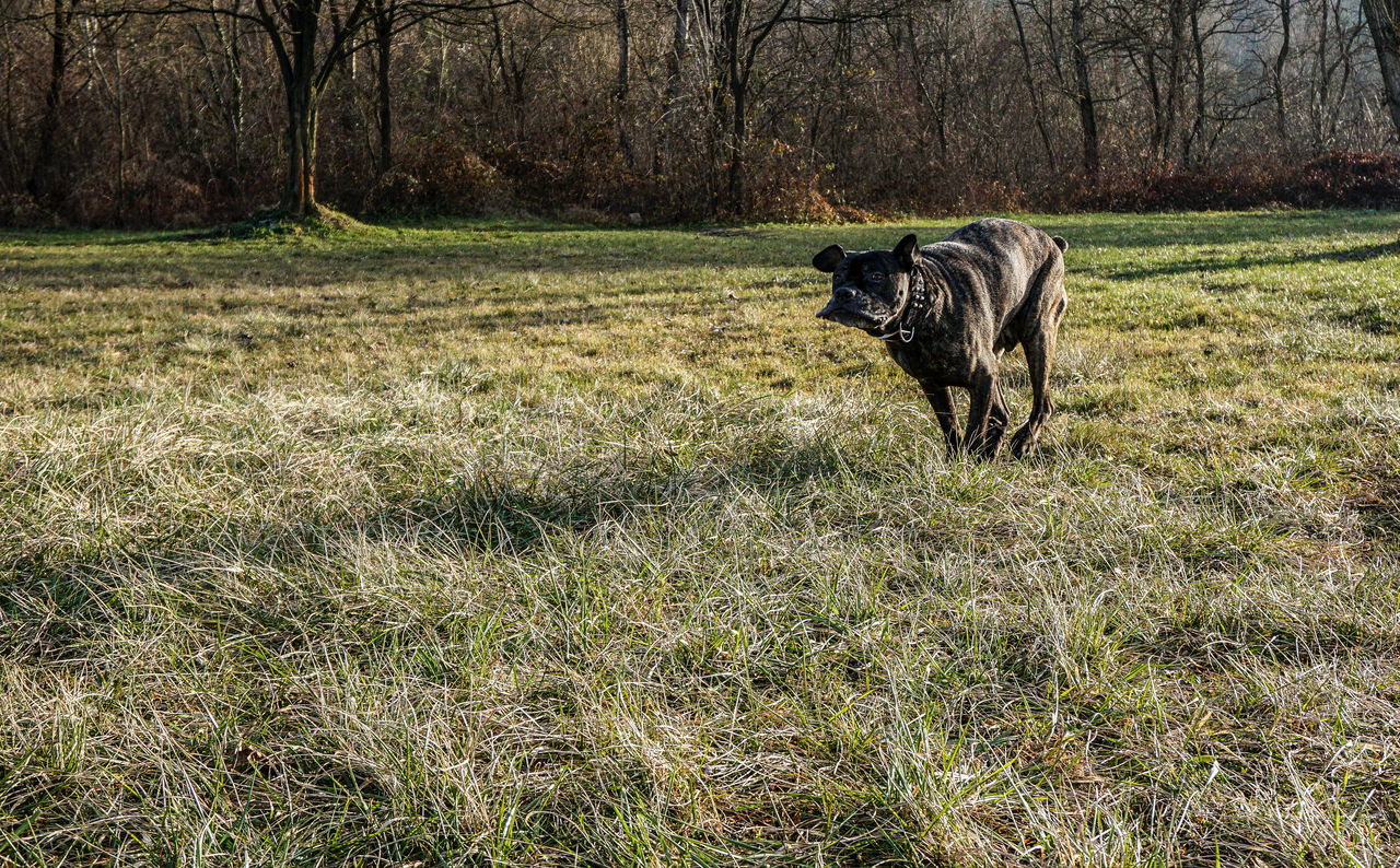 Active Active Dog Animal Themes Big Dog Cane Corso Daily Walk Day Domestic Animals Fast Fast Dog Fast Dogs Field Grass Grass Mammal Mastiff Nature Nature No People One Animal Playing Dog Playing With My Dog Running Sunlight Tree
