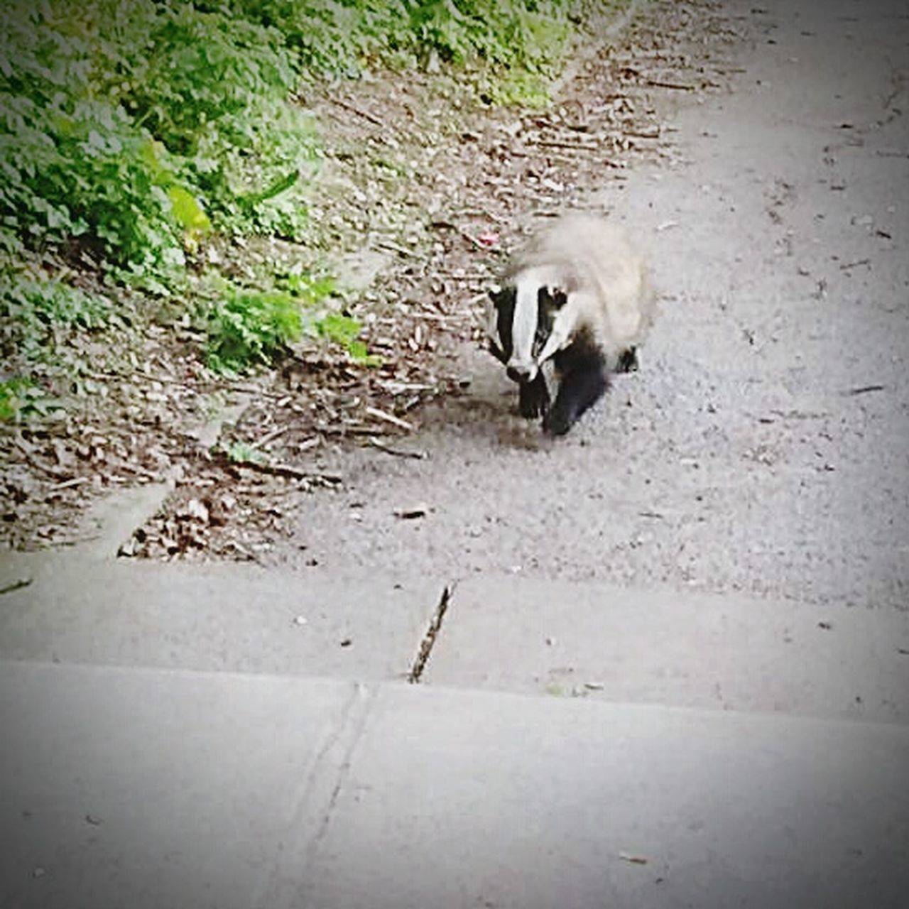 Animal Themes One Animal High Angle View Mammal Outdoors Day Animals In The Wild No People Nature Rural Scene Badger My Local Badger
