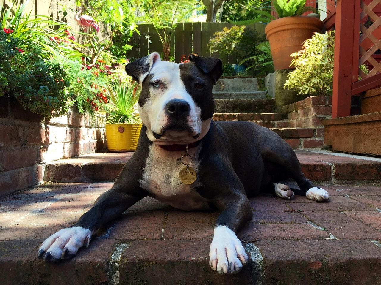 Beautiful stock photos of pitbull, Animal Themes, Day, Dog, Domestic Animals