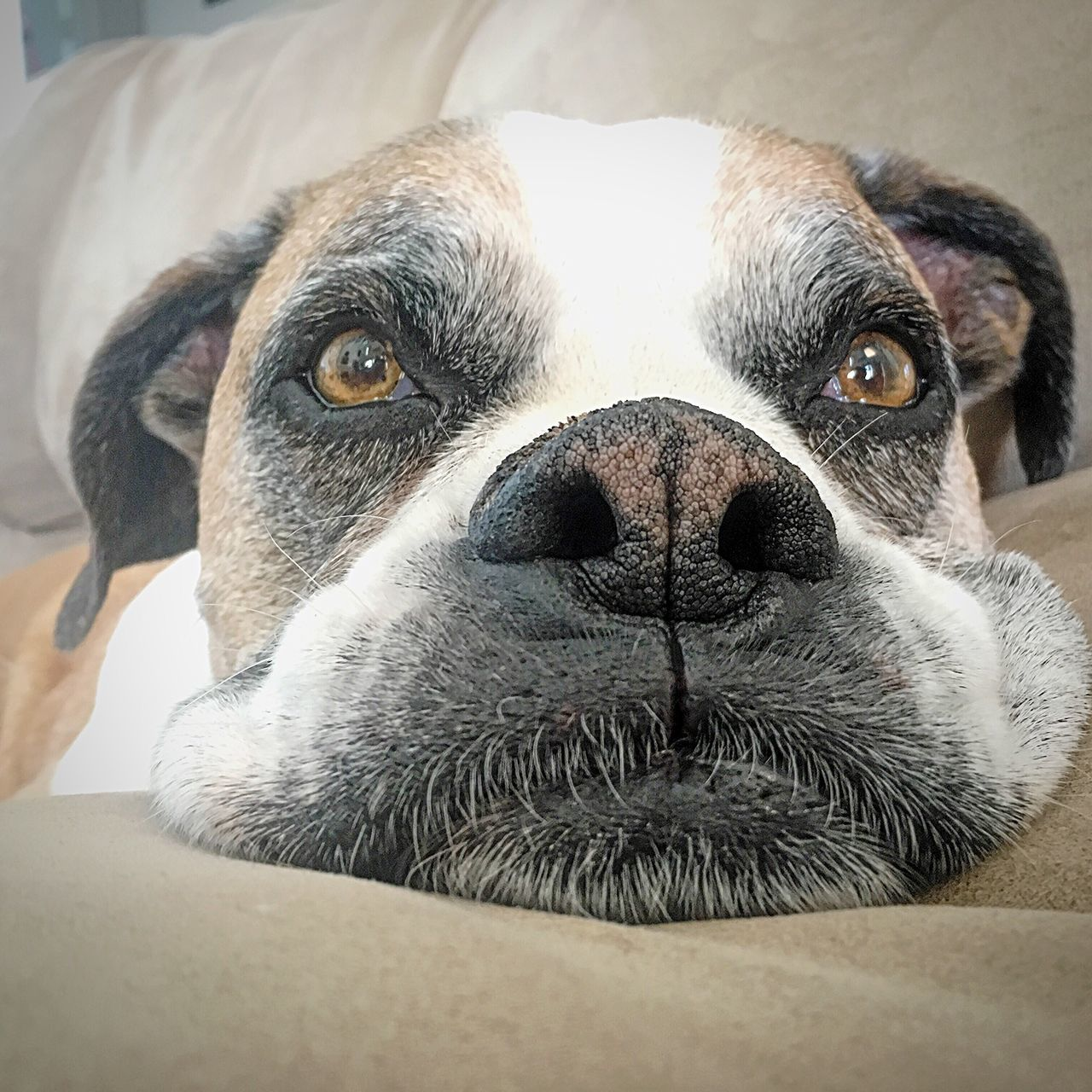 Monday mood // Pets Animal Themes Dog Domestic Animals One Animal Looking At Camera Close-up Portrait Indoors  Animal Head  Front View Mammal Focus On Foreground Animal Nose Whisker No People Looking Boxer Monday Mood