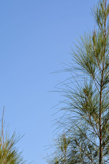 Sky Tree Nature Low Angle View Outdoors Clear Sky Day Beauty In Nature No People Australian Pine Tree Backgrounds Against Blue Sky Growth Nature Delicate
