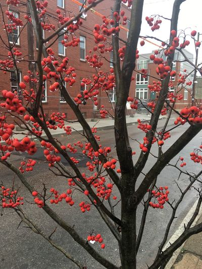 Red berries on a tree on the 1900 block of Dickinson Street in the Point Breeze neighborhood of Philadelphia, PA USA. Beauty In Nature Berries Berries On A Branch City Tree Nature Red Red Berries Red Berries On Tree Tree, Nature Urban Nature