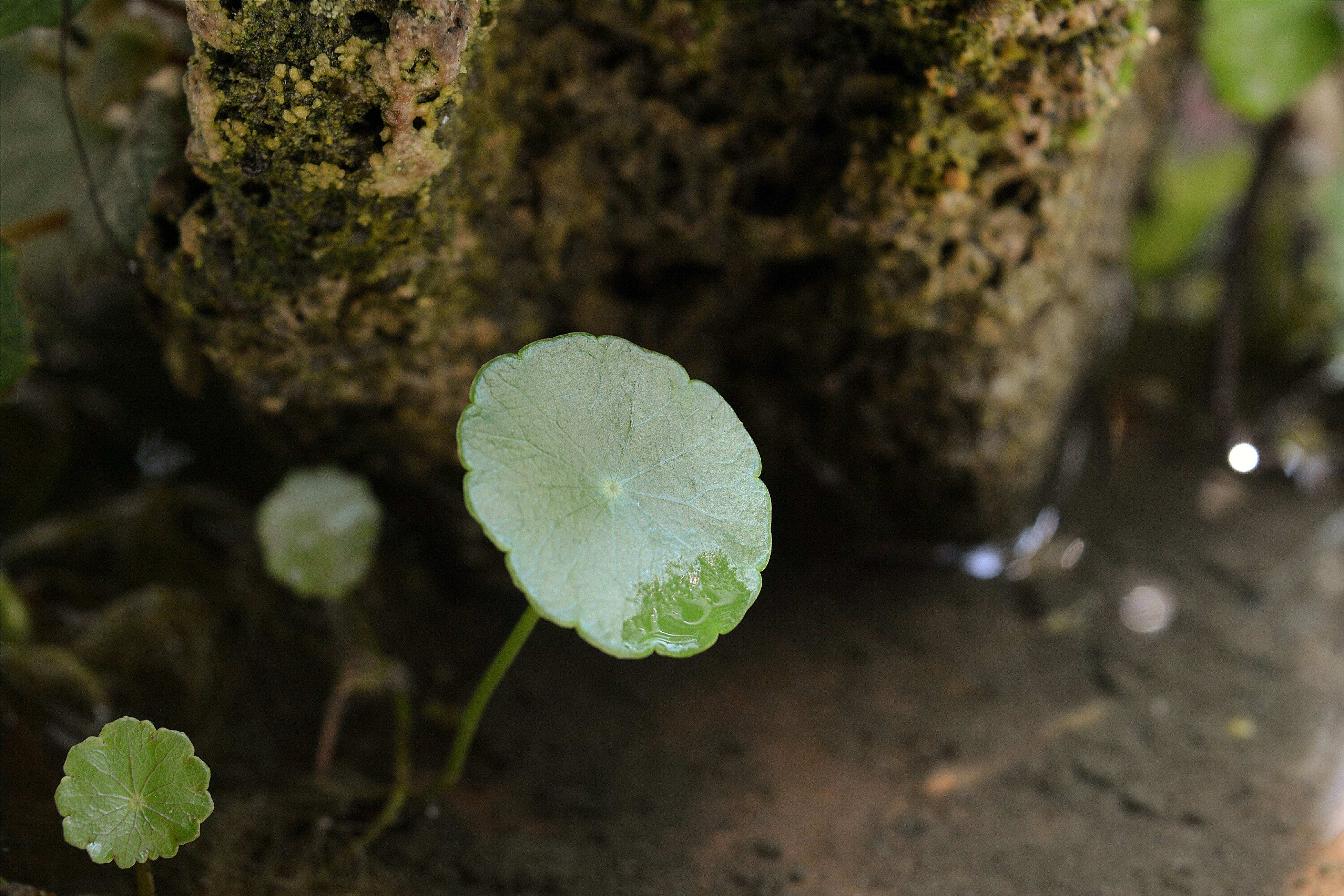 growth, close-up, nature, focus on foreground, leaf, beauty in nature, plant, fragility, fungus, forest, tranquility, mushroom, growing, white color, day, freshness, selective focus, green color, moss, outdoors