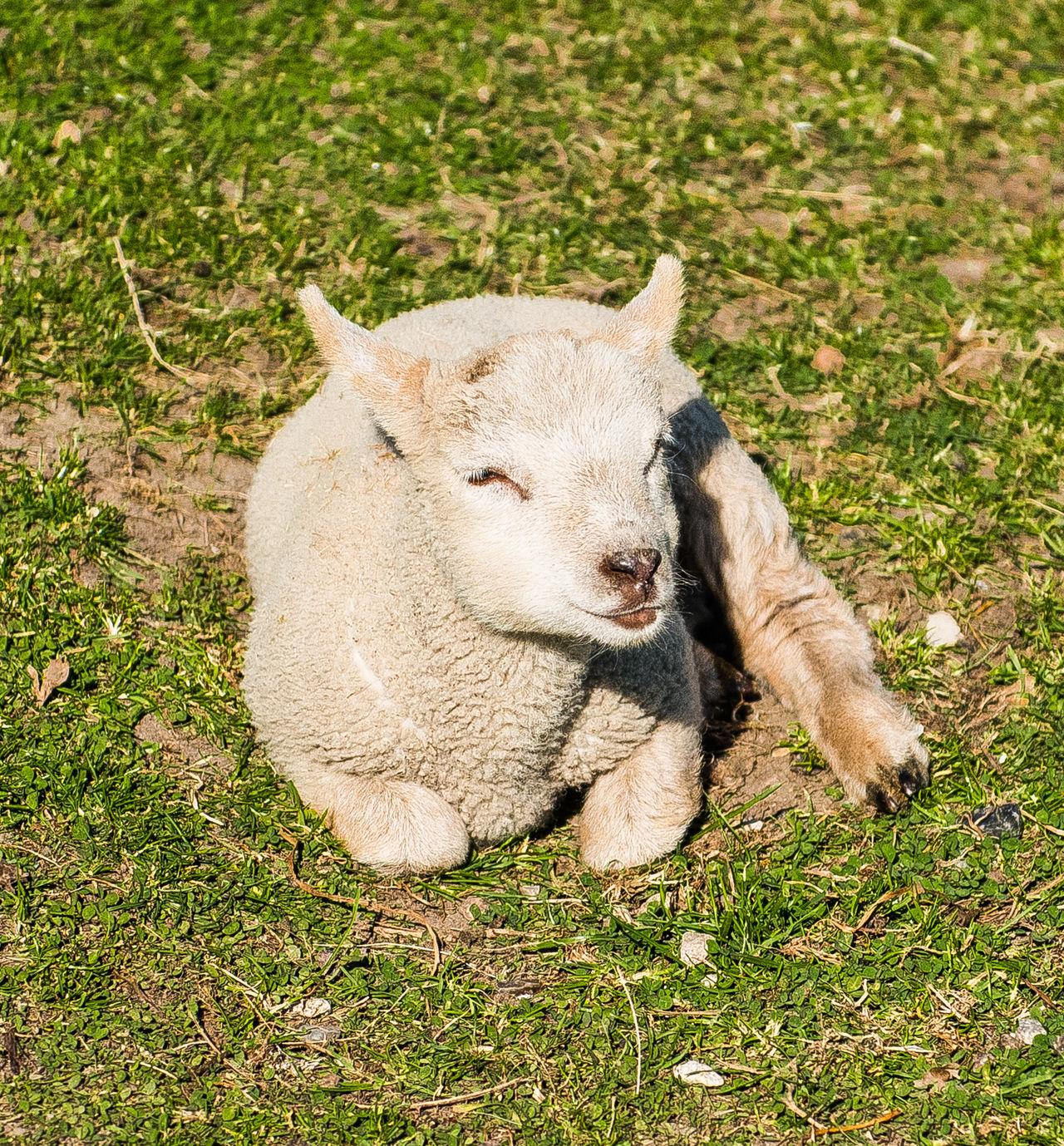 Animal Animal Themes Animals Bauernhof Day Easter Lamb Easterlamb Farm Farm Life Grass Lamb Lamm Mammal Nature No People Outdoors