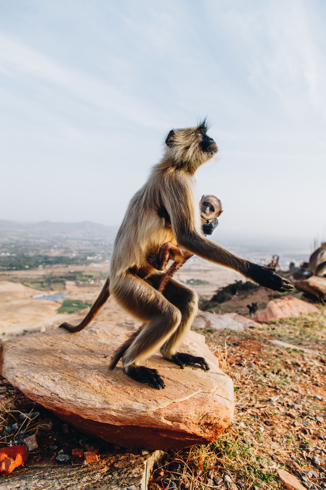 Animal Themes Animal Wildlife Animals In The Wild Baby Monkey Close-up Day Full Length Gray Langur Gray Langurs India Mammal Monkey Nature No People Outdoors Primate Pushkar Sky Standing Wildlife