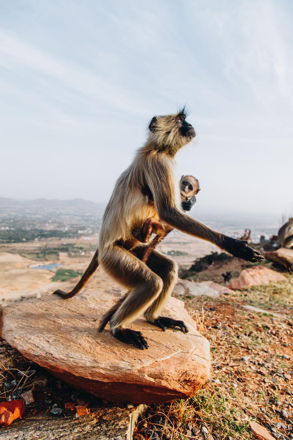 Animal Themes Animal Wildlife Animals In The Wild Baby Monkey Close-up Day Full Length Gray Langur Gray Langurs India Mammal Monkey Nature No People Outdoors Primate Pushkar Sky Standing Wildlife