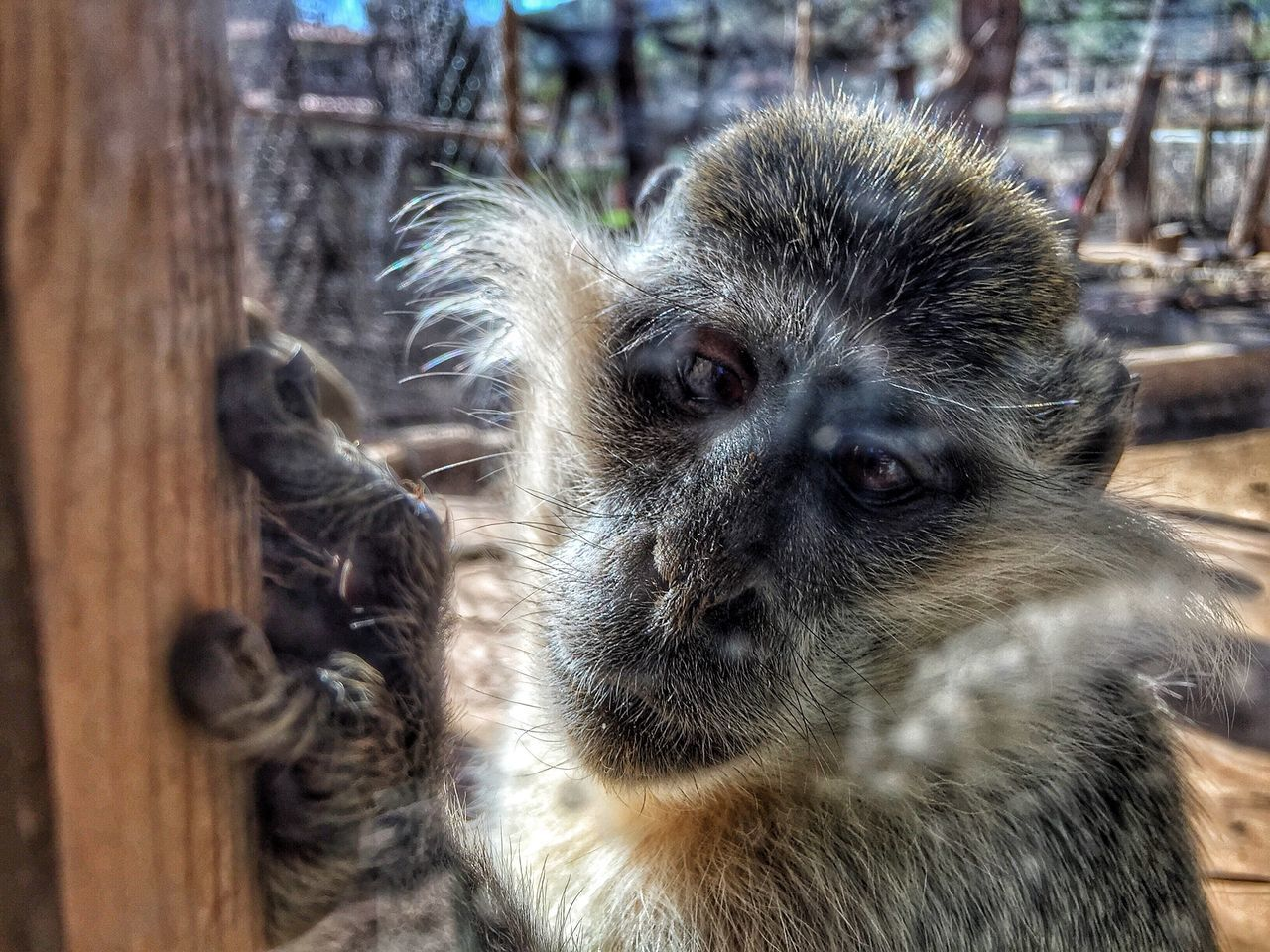 animal themes, monkey, primate, animals in the wild, one animal, animal wildlife, mammal, close-up, no people, day, outdoors, nature, portrait, baboon