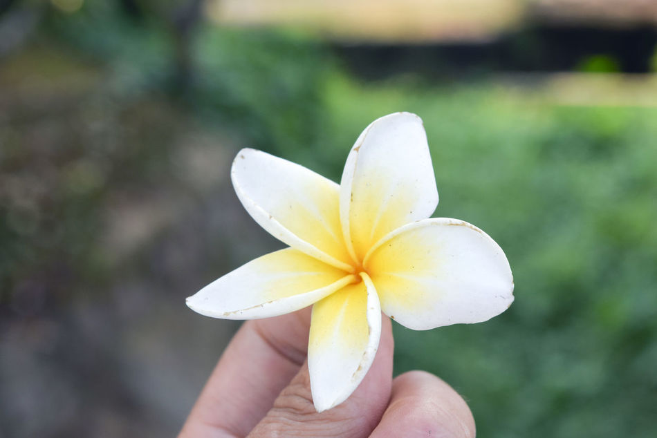 Beauty In Nature Blooming Close-up Day Flower Flower Head Focus On Foreground Fragility Frangipani Freshness Growth Holding Human Body Part Human Hand Nature One Person Outdoors People Petal Real People