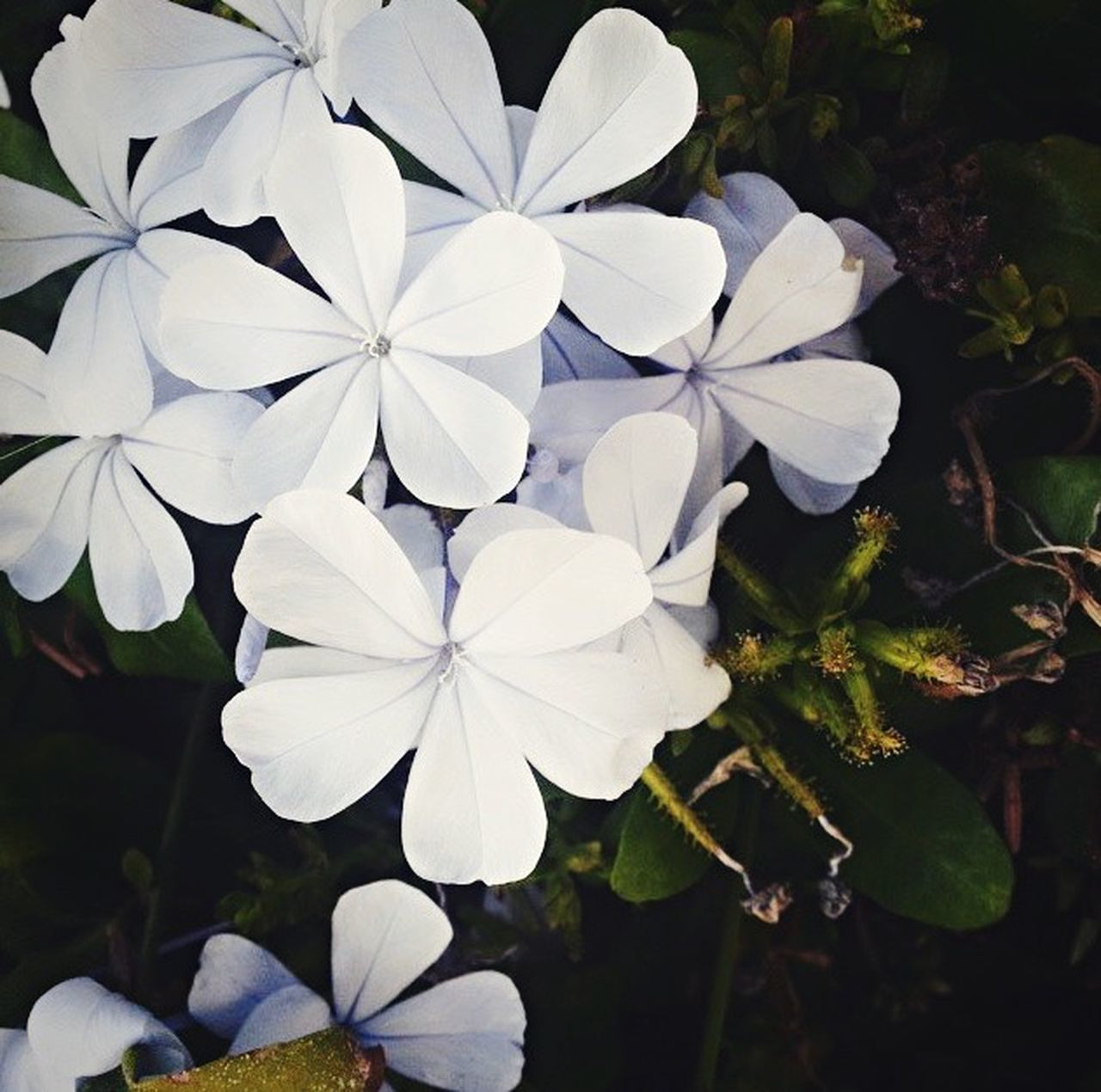 flower, growth, petal, beauty in nature, white color, plant, nature, freshness, flower head, periwinkle, blooming, fragility, no people, day, outdoors, close-up