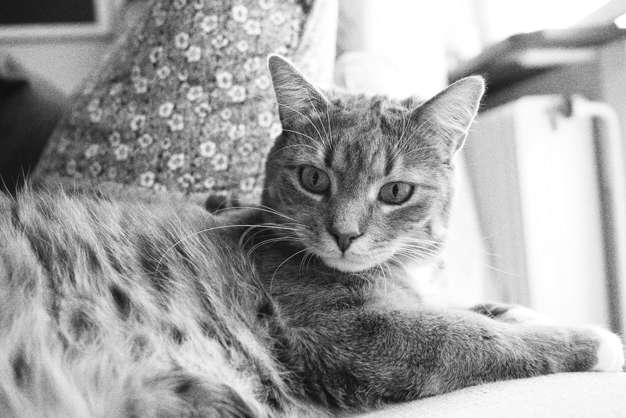 Domestic Cat Pets Domestic Animals Animal Themes One Animal Indoors  Mammal Feline Whisker Focus On Foreground Relaxation Portrait Close-up Looking At Camera Sitting No People Day Monochrome Full Frame Indoors  Cat Cute Tranquil Scene Cute Pets Softness