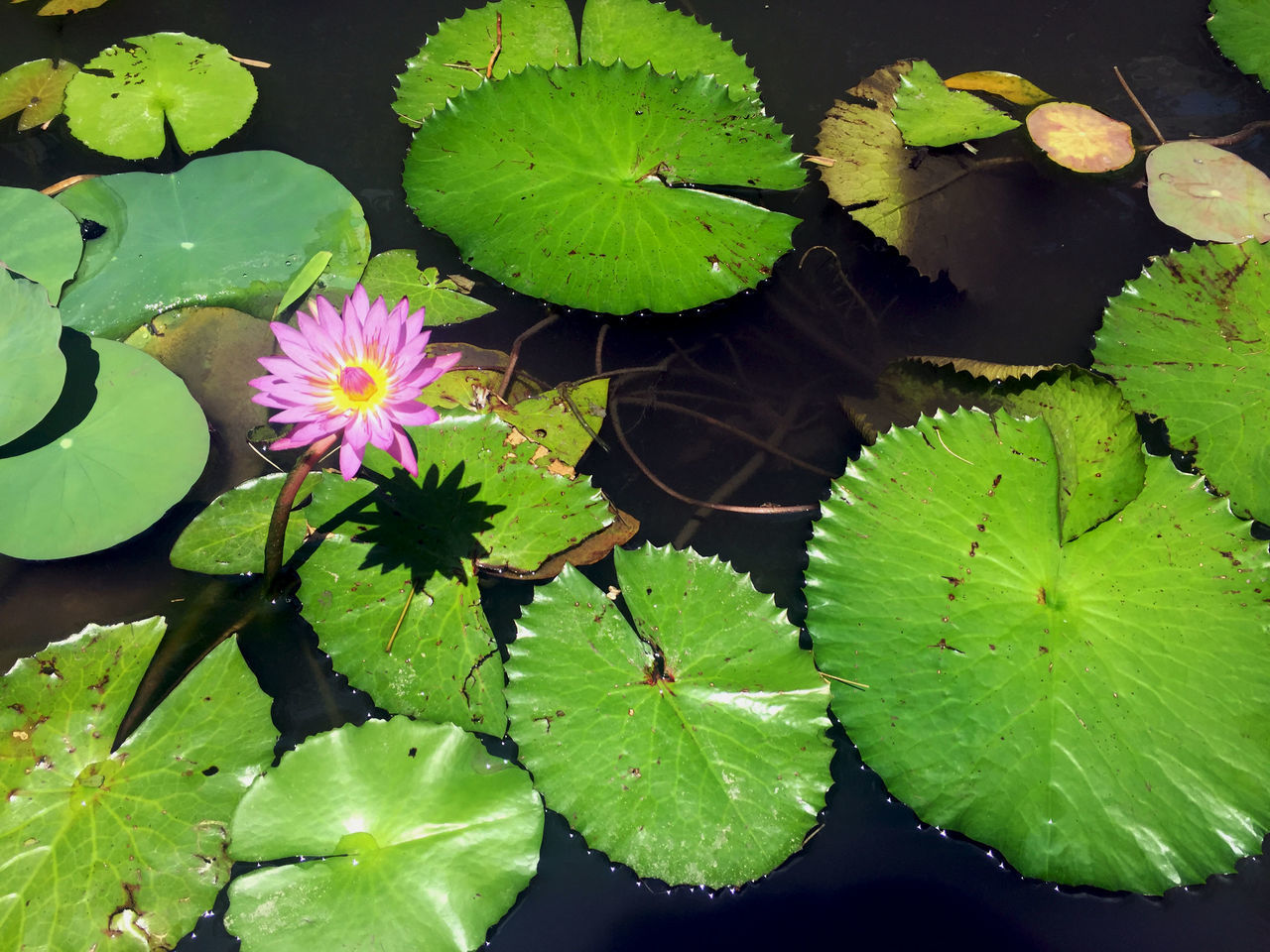 Beauty In Nature Day Floating On Water Flower Flower Head Fragility Freshness Green Color Growth Leaf Lily Pad Lotus Lotus Water Lily Nature No People Outdoors Petal Plant Water Water Lily