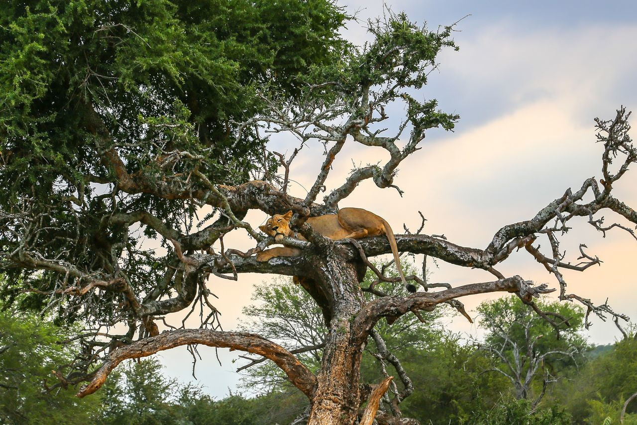 Tree Branch Nature Growth Low Angle View No People Animal Themes One Animal Outdoors Beauty In Nature Day Sky Lion Lion - Feline Lions In The Forest In The Tree  Full Frame Full Length Safari Animals Nature Photography Wilderness Wildlife & Nature Wildlife Safari