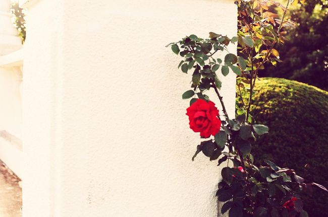 White Background Rose🌹 Rosé Red And Beautiful Beauty In Nature Oedo Botania Minolta Alpha9000