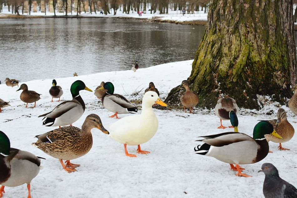 EyeEm Diversity Winter Bird Snow Animals In The Wild Cold Temperature Animal Wildlife Nature Water Large Group Of Animals Outdoors Animal Themes No People Beauty In Nature Lake Day