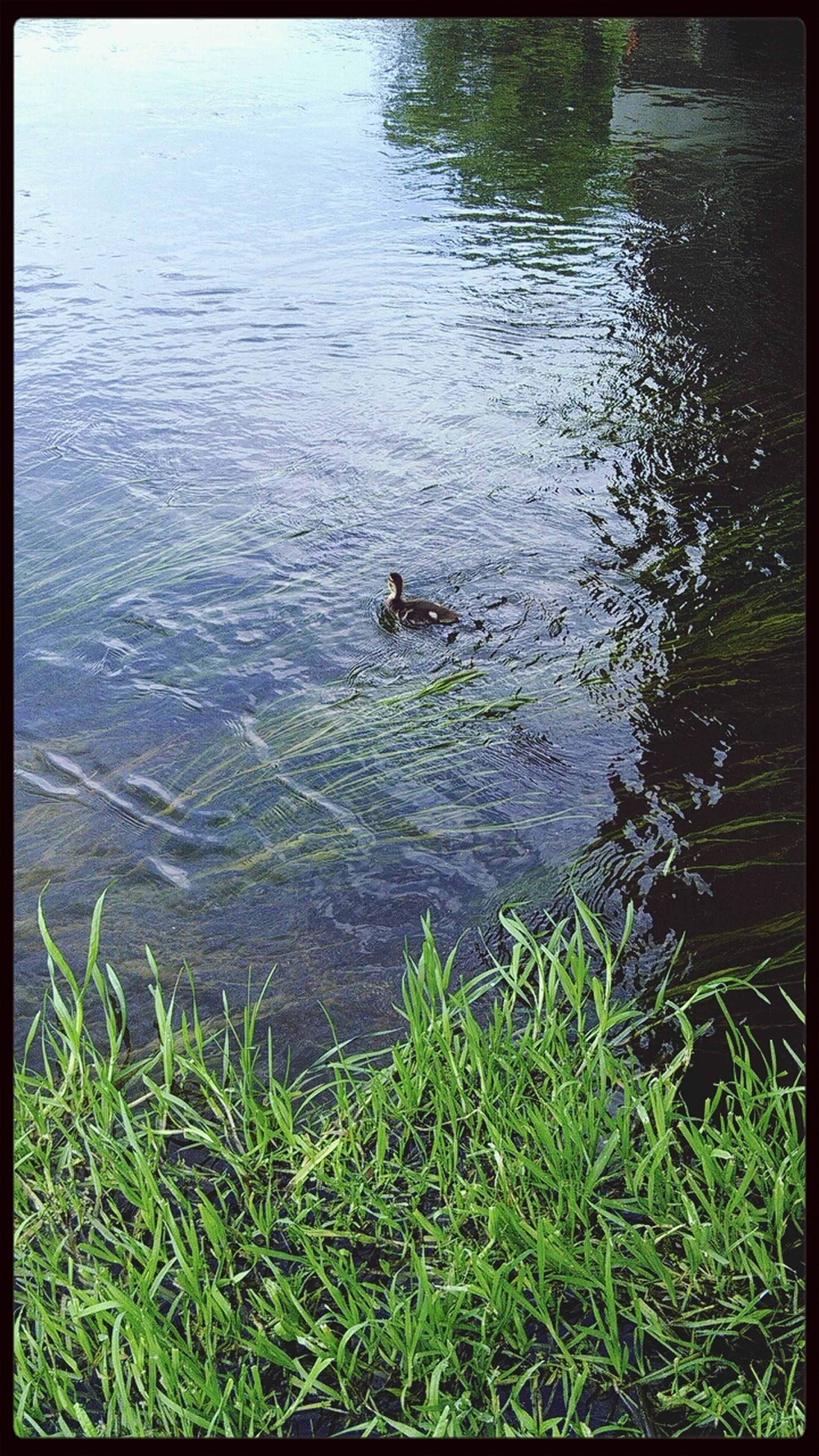 animal themes, water, animals in the wild, lake, wildlife, one animal, bird, grass, swimming, duck, transfer print, reflection, high angle view, nature, rippled, tranquility, two animals, auto post production filter, water bird, plant