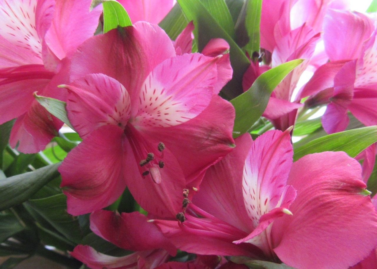 Is it Spring yet? 😄 Lilies Pink Color Flower Fragility Close-up Freshness Nature Beauty In Nature For My Friends That Connect