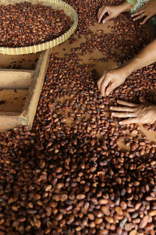 Indonesian Cacao Been Abundance Adult Adults Only Beauty And Health Cacao Cacao Beans Cacao Nibs Colesterol Day Food Food And Drink Freshness Harvest Human Body Part Human Hand Indonesian Cacao Indoors  Jember Large Group Of Objects Nature One Person People Seed Sorting  Vitamins