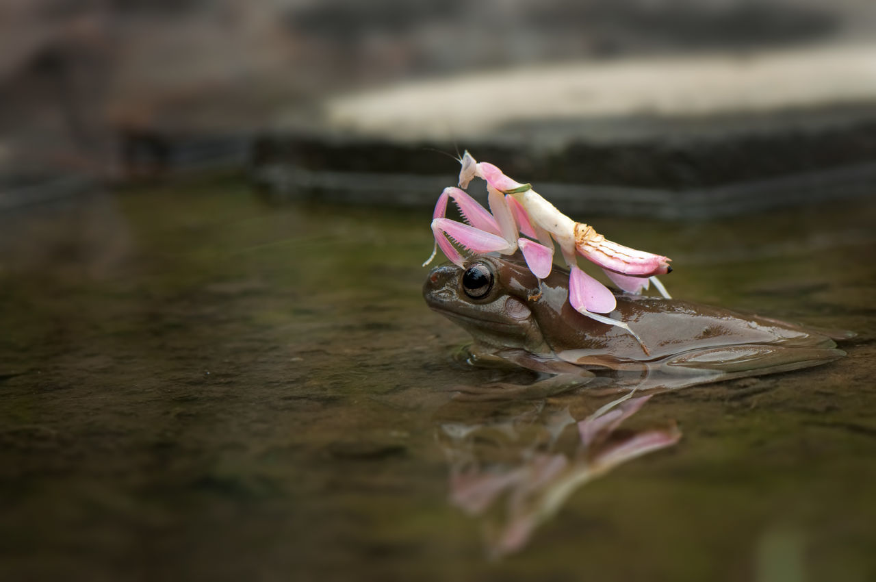 Boat Frog Dumpyfrog Frog Greenfrog Outdoor Conceptual INDONESIA Nikon Daylight Bokeh Contrasts Photography Day Mantis Orchid Mantis Side View Friendship No People Outdoors Looking Animal Themes Water Reflections Water Reflection Reflections Pink