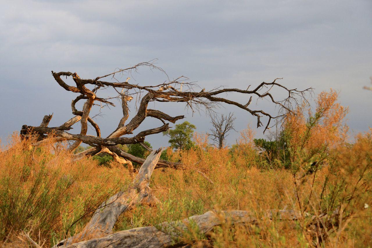 Dead tree at sunset in the Okavango Delta Botswana Botswana Africa Arid Climate Bare Tree Beauty In Nature Day Dead Tree Grass Landscape Nature Okavango Delta Okavango River Outdoors Scenics Sky Tranquil Scene Tree