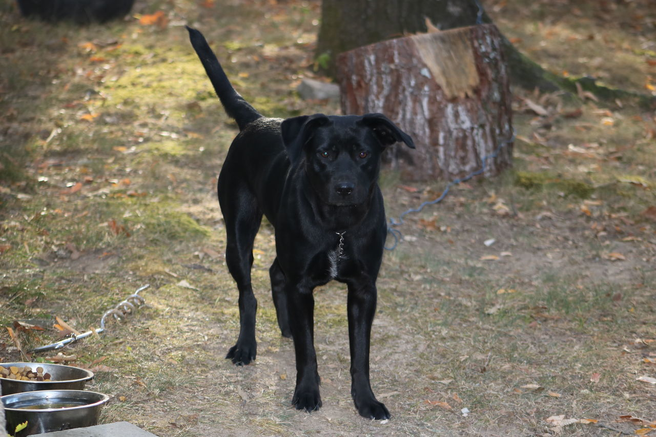 """Her name was """"Beautiful"""" even still i tear up for her. She was a loyal loving dog and loved me as much as i still love and miss her so Salutetodogs Everywhere Dogsofeyeem Dogsofinstgram Dog One Animal Pets Black Color Domestic Animals Mammal Animal Themes No People Outdoors Black Labrador Day"""