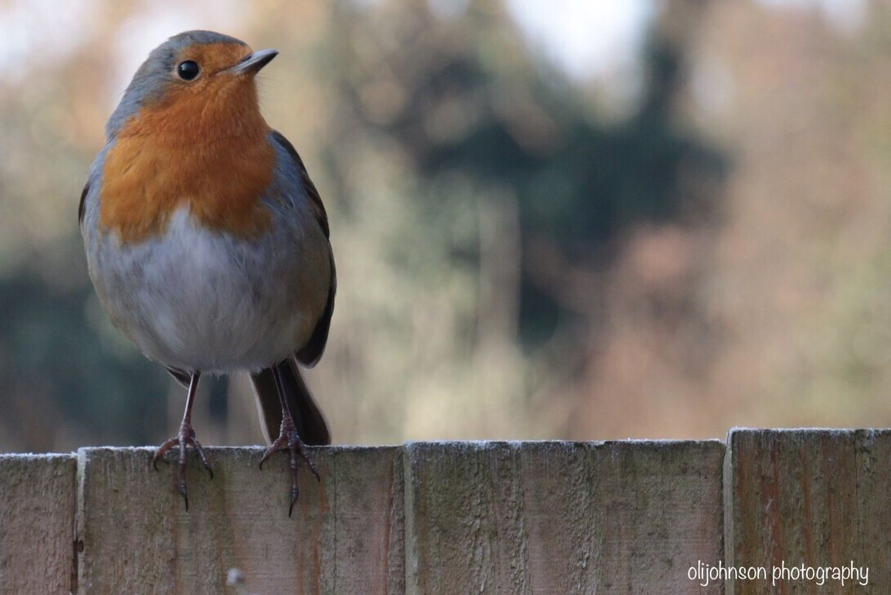 Animal Themes One Animal Bird Animals In The Wild Animal Wildlife Perching Focus On Foreground Robin Outdoors Nature Day Retaining Wall No People Robin Redbreast Robin