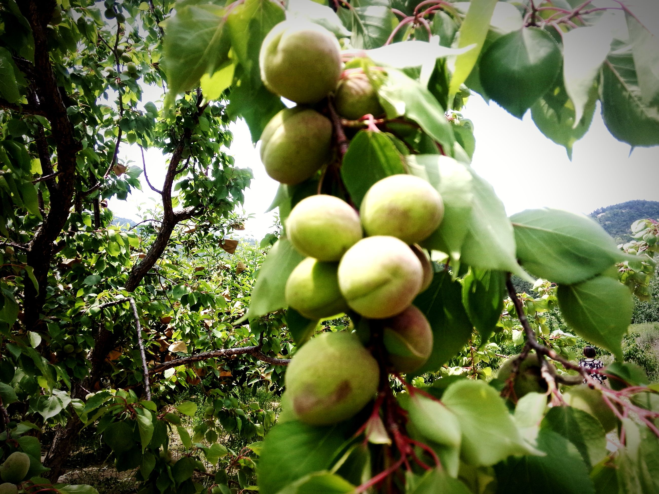 fruit, food and drink, healthy eating, food, tree, green color, freshness, growth, grape, agriculture, vineyard, ripe, hanging, leaf, branch, apple - fruit, apple, bunch, close-up, apple tree