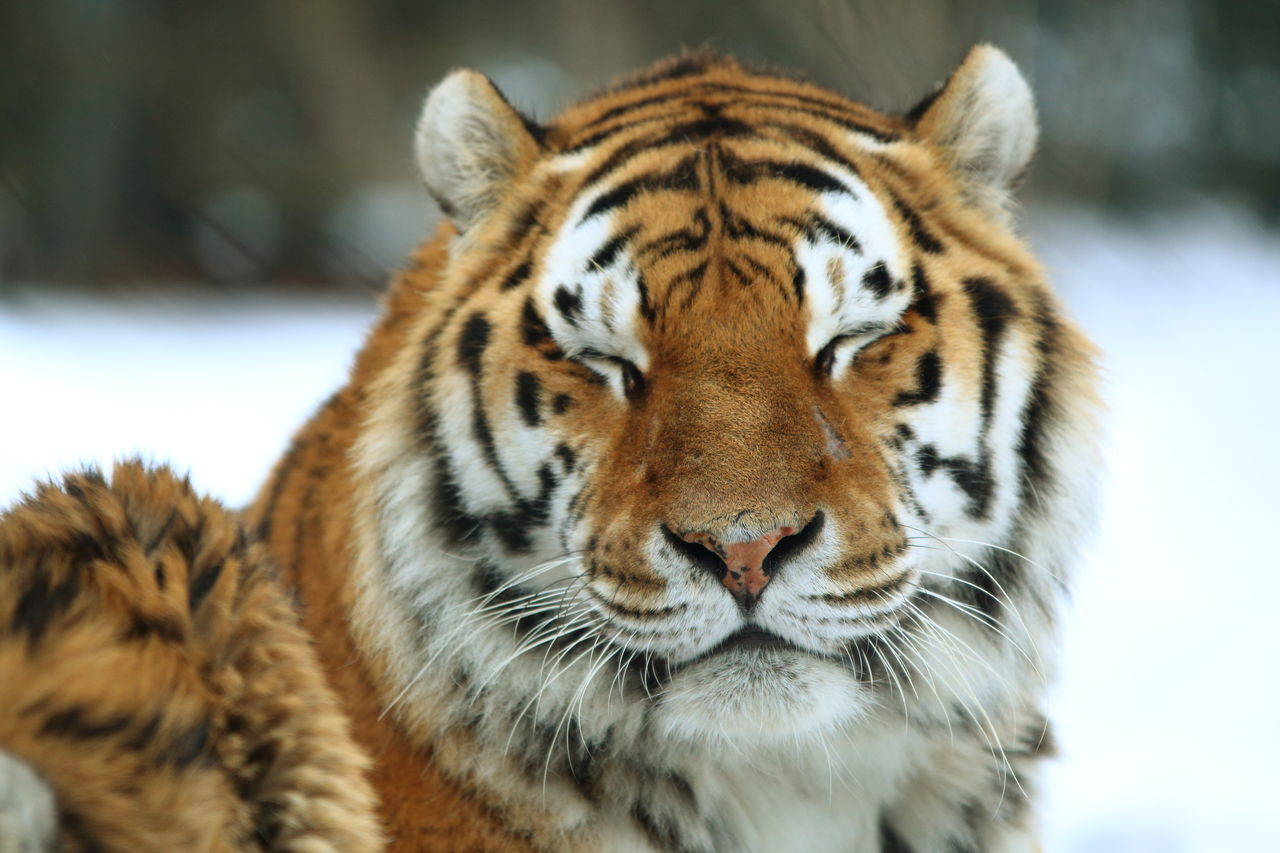 Animal Themes Animal Wildlife Animals In The Wild Close-up Eyes Closed  Focus On Foreground Happy Looking At Camera Nature One Animal Portrait Smiling Tiger