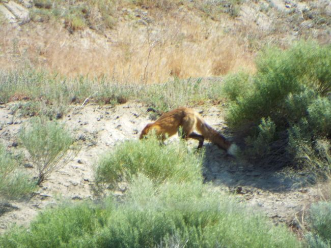 Fox Little America, Wyoming Fox🐺 Foxtail Fox Tail Fox Eating Nature Wildlife & Nature Wildlife Photography Wild Animals Outdoor Photography Nature Photography Outdoors❤ Wyoming Adventure Wyomingwildlife