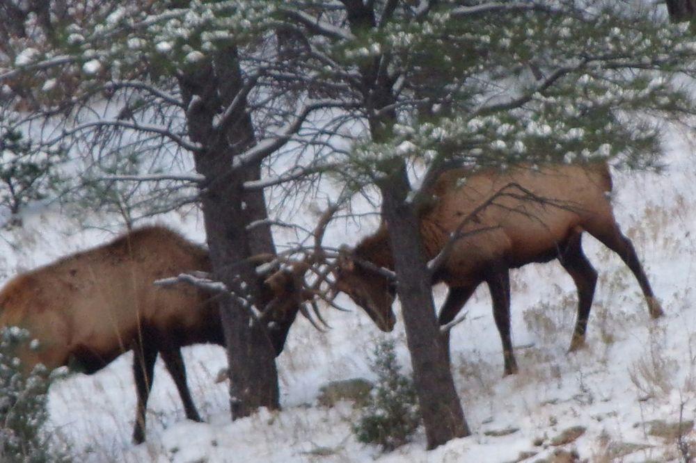 Elks Elkhorn Outdoors Photograpghy  Outdoor Photography Elk Outdoors Photography