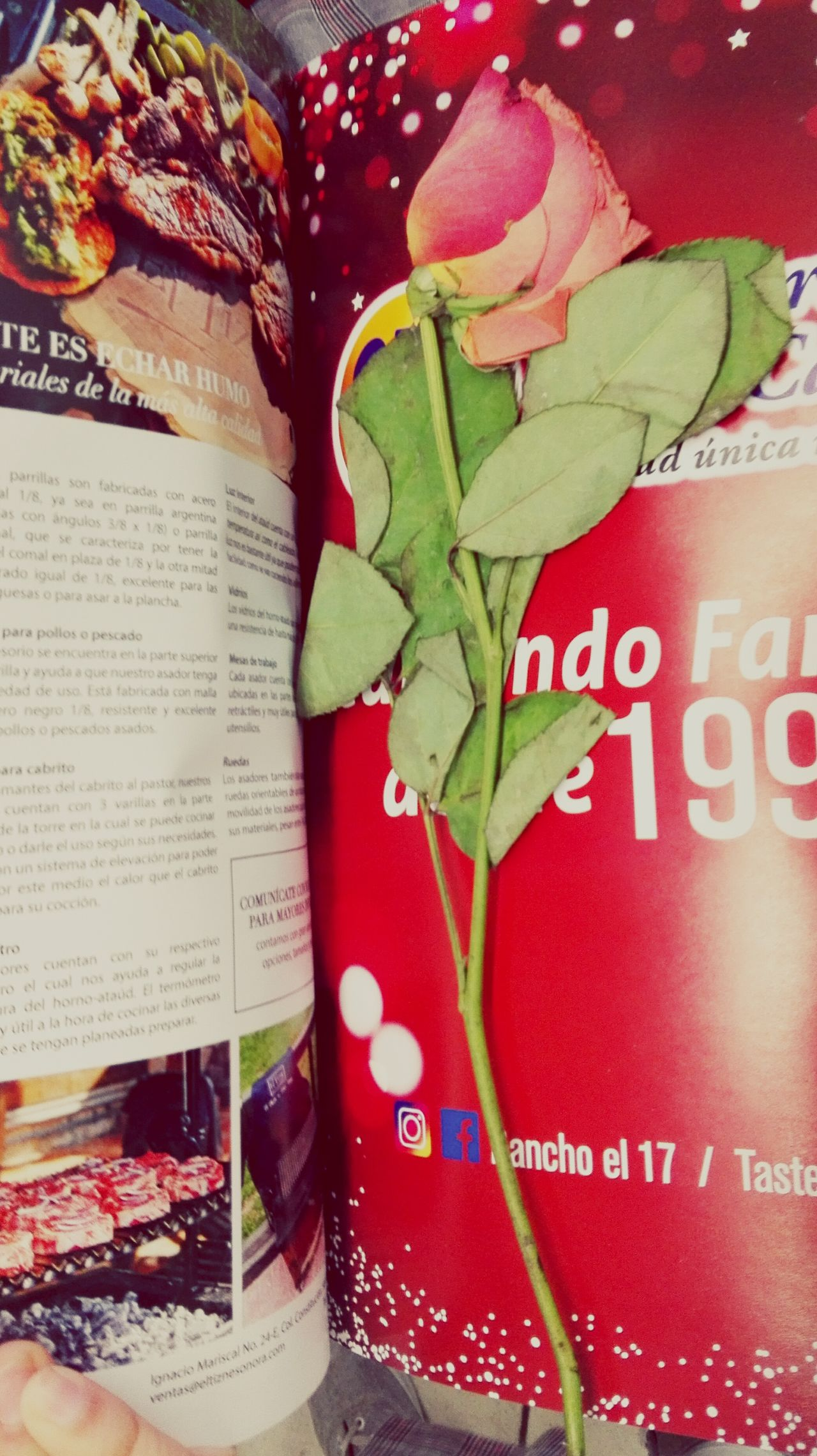 Leaf No People Nature Freshness Hermosillo Rosé Rosemary Roses Flowers  Rose Petals Roses Are Red Pink Red Color Light