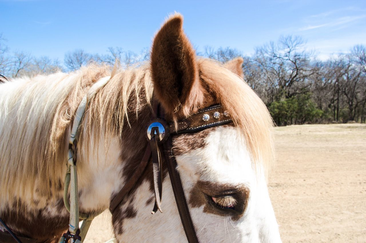 Domestic Animals Horse Mammal Animal Themes Bridle Livestock Herbivorous Working Animal Close-up Outdoors Day Mane Nature Sky One Animal Clear Sky No People Horses Horse Head